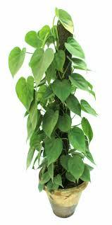 money plants climber