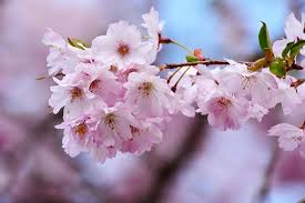 cherry blossom pics cherry blossom images pixabay download free pictures