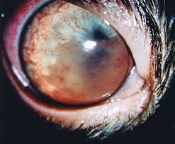 What Causes Blindness In Humans Feline Uveitis Animal Eye Care