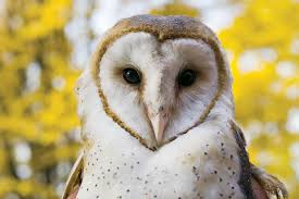 barn owl nesting box program u2014 citizens for los angeles wildlife