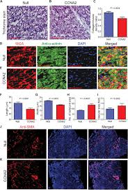 What Is 138 311 As A Percent Cyclin A2 Induces Cardiac Regeneration After Myocardial Infarction
