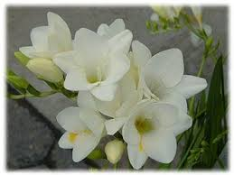 Pretty Types Of Flowers - 58 best flowers freesia images on pinterest flowers beautiful
