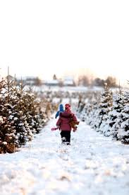 Finding A Fresh Cut Christmas Tree All About Tradition Chronicle