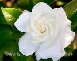 white flower beautyful flowers white flowers flowers