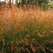 big bluestem seeds prairie grass or ornamental grass seed