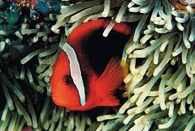 choosing clownfish and anemones for your aquarium petcha