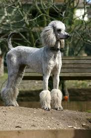 45 best i love my poodle images on pinterest poodle cuts