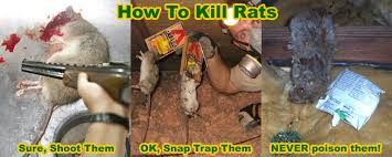 how to kill rats inside house attic crawl space etc