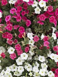 petunia flowers different types of petunias learn about the varieties of petunias