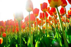 thanksgiving point tulip festival dishing park city