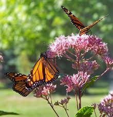 butterflies on flowers free stock photo public domain pictures