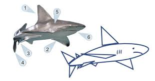 how to draw cartoon shark in 5 easy steps