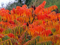 sumac trees are unsung garden trees hgtv