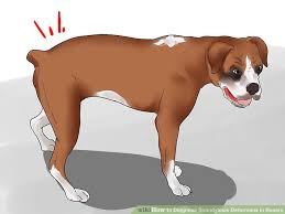 boxer dog health questions how to diagnose spondylosis deformans in boxers 7 steps