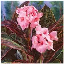 pink sunbrust canna lily bulb buy garden plants online