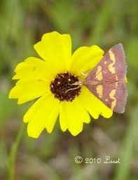 Florida State Wild Flower - diurnal moths tales of a central florida wildlife garden