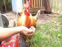 Backyard Chickens 101 by Raising Backyard Chickens Youtube