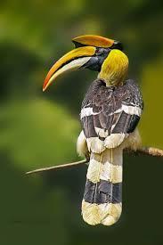 145 best feathers hornbills bucerotiformes images on pinterest