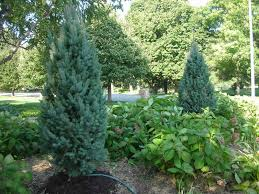 columnar blue spruce tree outdoor living spruce