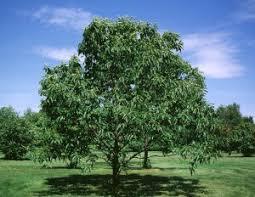 hardwood seedlings hardwood tree buy hardwood seedlings