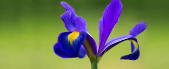 State Flower Of Colorado - tennessee state flower the iris proflowers blog