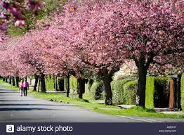 small cherry tree for pink cherry blossom trees which line