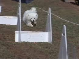 american eskimo dog washington state wright u0027s american eskimos american eskimo dogs and puppies