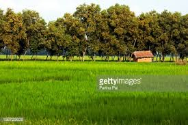 green field with rows of trees in backdrop stock photo getty images