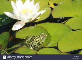 green frog black spots on stock photos u0026 green frog black spots on