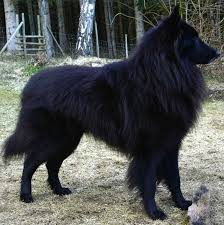 belgian sheepdog animal planet groenendael with a perfect coat canine belgian cute animals