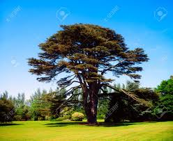 Old Lebanese Flag Cedar Of Lebanon Stock Photos U0026 Pictures Royalty Free Cedar Of