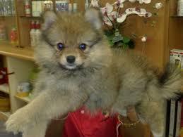husky poodle mix laura williams