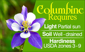 columbine flowers essential tips on how to grow and care for columbine flowers