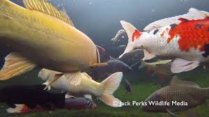tench and carp surface feeding in ornamental pond