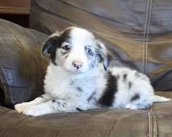 australian shepherd x puppies for sale mini aussie jack puppies pautsch farms