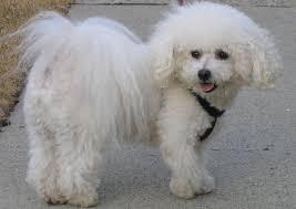 bichon frise dog pictures bichon frise wikipedia