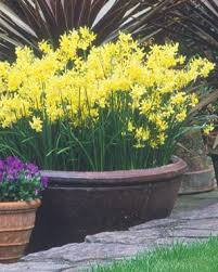 planting spring bulbs in containers fine gardening