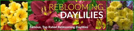 Reblooming Daylilies Daylily Plants Greatgardenplants Com