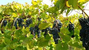 how to growing and planting grape vines from cuttings gardening