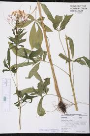 native plants of south america herbarium specimen details isb atlas of florida plants