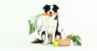 australian shepherd 3 months weight dog weight management overweight dogs american kennel club