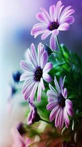 Very Pretty Flowers - 65 best osteospermum images on pinterest flowers daisies and plants