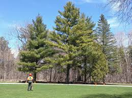 best time to prune 5 common trees in southern ontario till