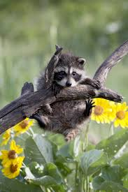 magical nature tour u2022 spring and cute raccoons muut eläimet