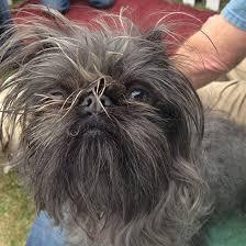 affenpinscher ottawa homely hounds 2016 world u0027s ugliest dog contestants ctv