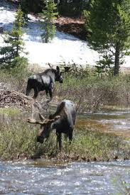 447 best moose images on pinterest wild animals animals and