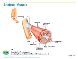 Interactive Muscle Anatomy Muscles And Muscle Tissue Ppt Video Online Download