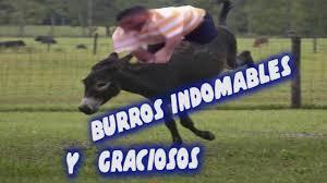 imagenes graciosas videos caidas graciosas al montar un burro vídeo de risa youtube