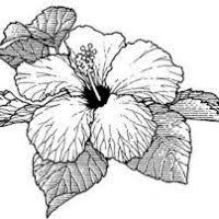 hibiscus flower outline flowers ideas for review