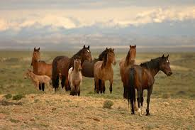 mustang horse outrage over secret documents planning to kill or slaughter 50 000